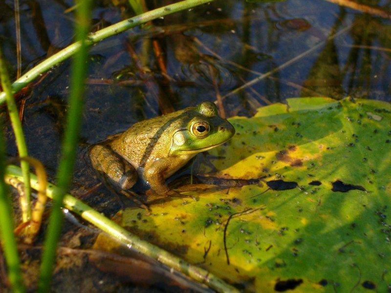 Inventaire d'amphibiens